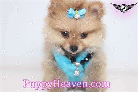 is boo a teacup pomeranian boo boo tiny teacup pomeranian puppy in garden city ny 11530
