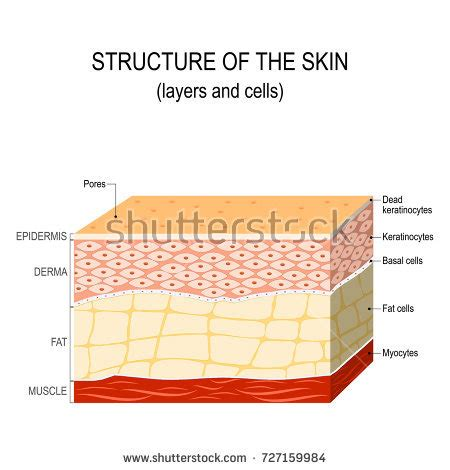anatomy of human skin layer and arm stock vector 689023216 istock epidermis stock images royalty free images vectors