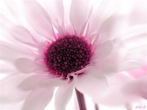 pink flower wallpaper designs high quality wallpapers