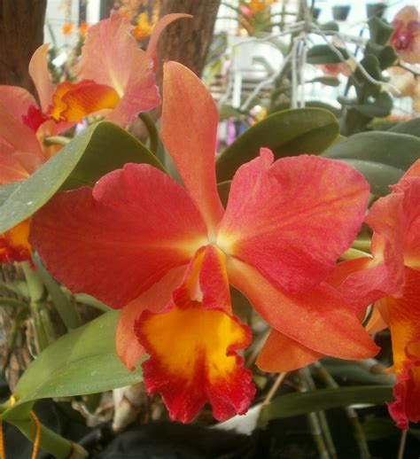 Alisya Flowers 2 cattlianthe alyssa nehemie cattlianthe fancy x cattleya wendy s ref