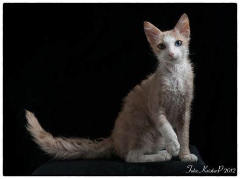 10 best images about laperm cats on coats