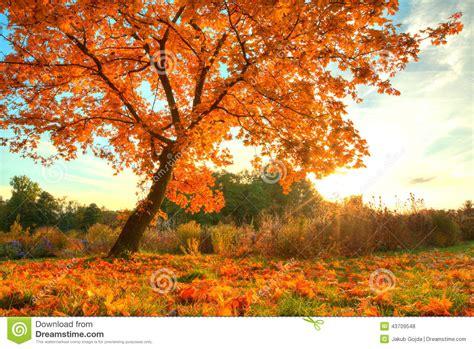 imagenes de hojas otoñales 193 rbol hermoso del oto 241 o con las hojas secas caidas foto de