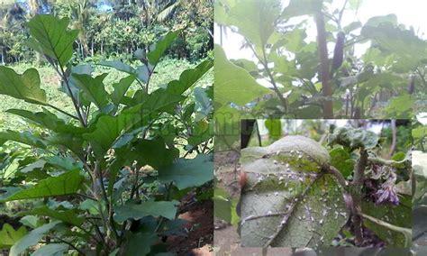 Tanaman Buah Sayur Terong 14 tips pengendalian hama tanaman terong 8 jenis hama utama terong