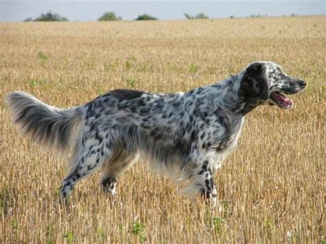 imagenes de setter ingles perros de caza setter ingles