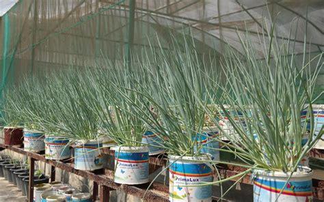 menanam jagung hidroponik cara menanam jagung di polybag tanamanbaru