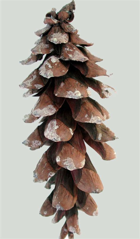 white pine cone tahoe pine cones selling the best pine cones