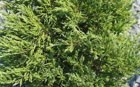 greenleaf nursery  compact andorra juniper