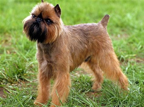 brussels griffon puppies brussels griffon history personality appearance health and pictures