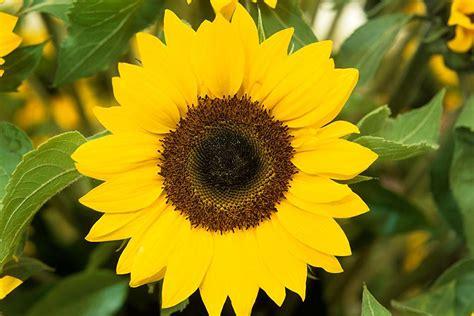 plants for kids sunflowers rhs gardening