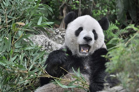 gambar loading format gif panda bear eating bamboo foto bugil bokep 2017