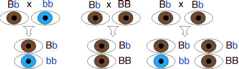 genetics of eye color eye colour inheritance