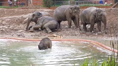 baby elephant playing  water    jonas