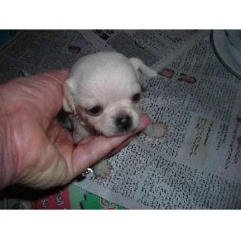 puppies for sale in wilmington nc top chihuahua breeders carolina chihuahua breeders rachael edwards
