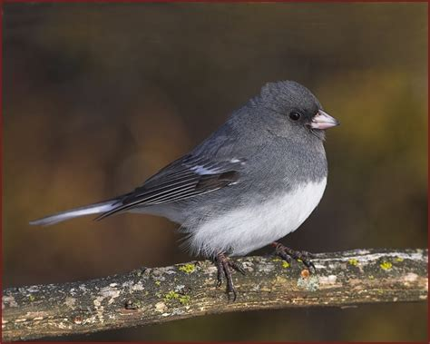 dark eyed junco 2017 2018 best cars reviews