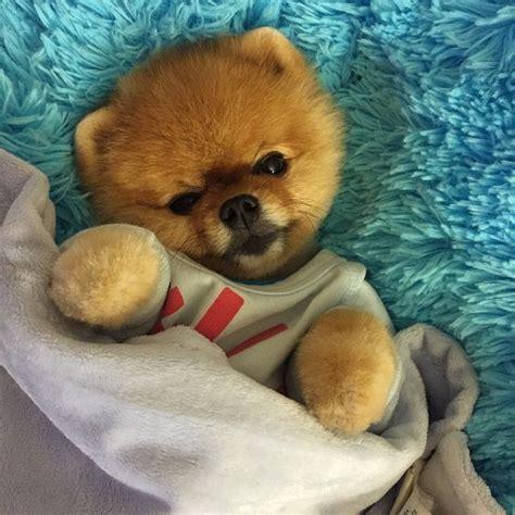 teddy the pomeranian the world s catalog of ideas
