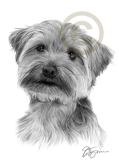 how to paper a yorkie puppy pencil drawing of a terrier by artist gary tymon