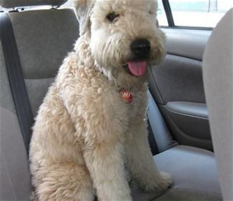 soft haired wheaten terrier puppy soft coated wheaten terrier not in the housenot in the house