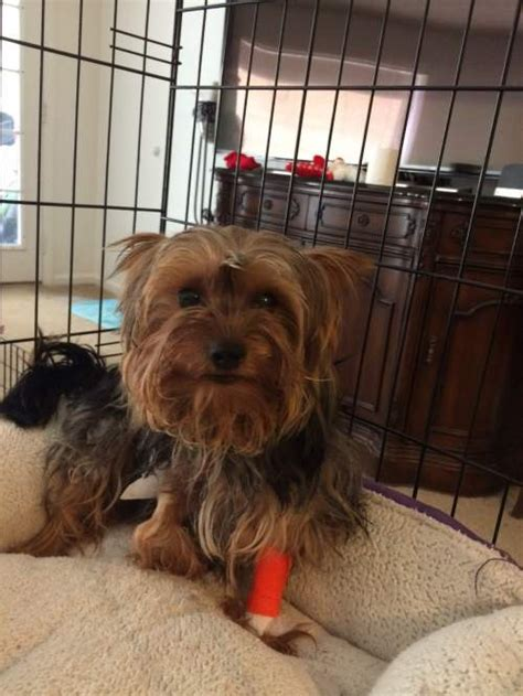 yorkie knee surgery yorkie rescue