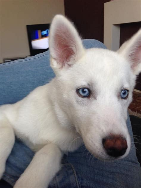 white husky puppies for sale dogs for sale puppies for sale from europe puppy rachael edwards