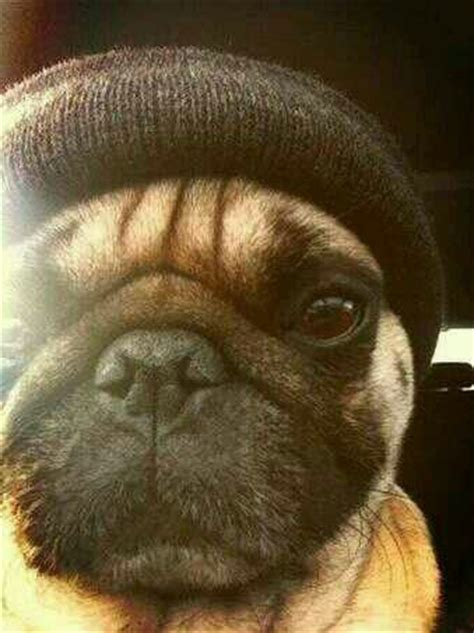 mugs pugs thugs 17 best images about pug on pug book and turkey