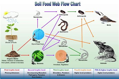 soil food web diagram information agricultural pathology and biologocal