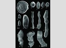 Sarmatian foraminiferal assemblages from Oarba de Muree ... Foraminiferal