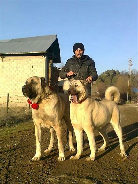 kangal dogs 17 best images about kangal on guard the and il