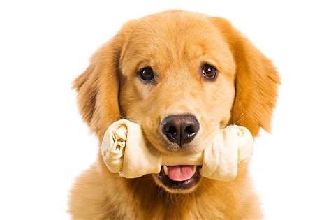 can puppies chew rawhide find out how rawhide chews are poisoning your the effect