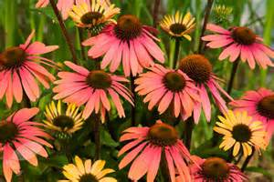Prairie Style Homes Buy Coneflower Echinacea Summer Cocktail Pbr Delivery