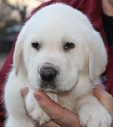 white labrador puppies for sale white lab puppies for sale white labradors white labrador puppies