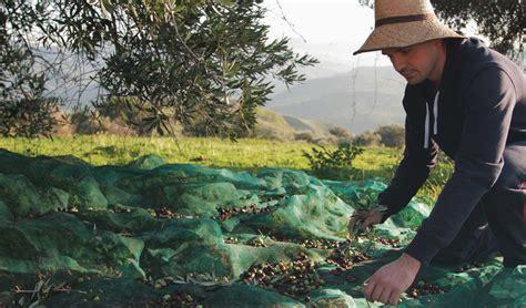 una vera esperienza rurale la raccolta delle olive una vera esperienza rurale la raccolta delle olive