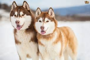 siberian husky colors siberian husky colours and commonly confused breeds