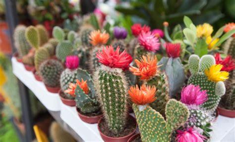 cactus fioriti piante grasse leitv