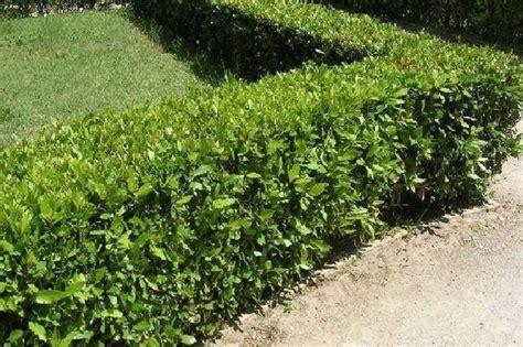 lauroceraso in vaso lauroceraso siepe piante da giardino lauroceraso