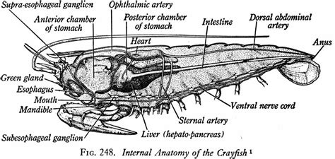 Crayfish Dissection Worksheet by Crayfish Dissection Worksheet Resultinfos