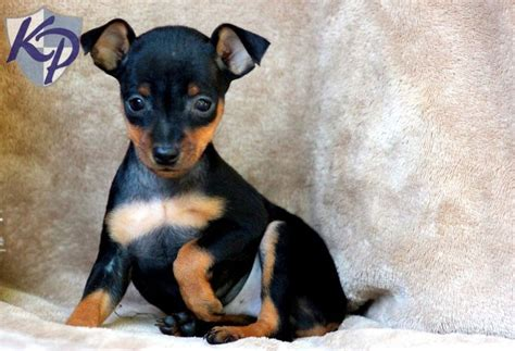 miniature pinscher puppies for sale in pa keystone puppies 1000 images about miniature pinscher puppy on pinterest