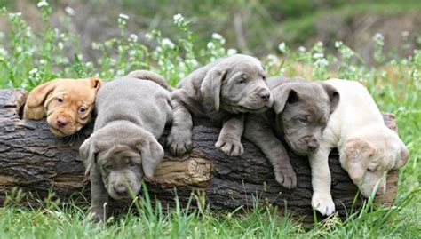 how many puppies can a lab silver labrador breeders silver lab puppies charcoal lab puppies tennessee