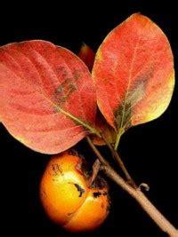 Khaki Ebenum plaqueminier kaki kaki diospyros kaki le jardin du