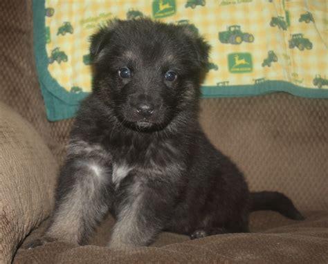 husky puppies tulsa siberian husky puppies wisconsin purebred husky puppies husky puppies breeds picture