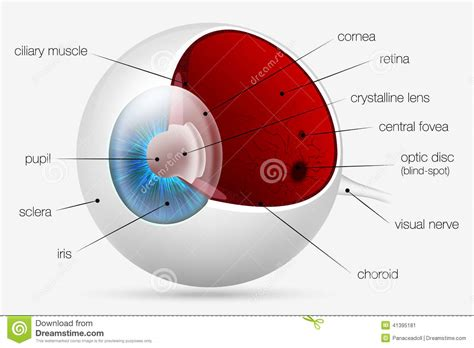 test di anatomia struttura interna dell occhio umano illustrazione
