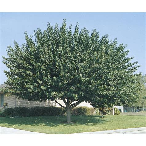 shop 3 25 gallon fruitless mulberry shade tree l3600 at lowes com