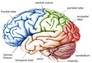 what color is a brain pin brain color code wallpaper 6912 size runpictcom