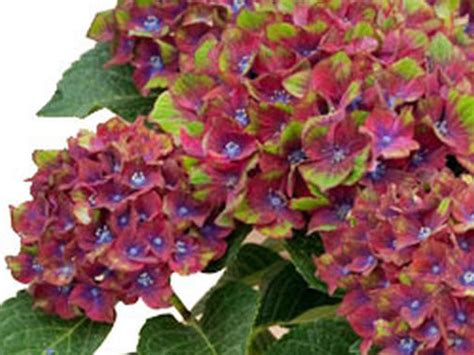 success with hydrangeas a gardener s guide books plant list hydrangea pistachio