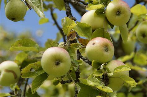 wann erntet ã pfel apfelbaum schneiden wann wann und wie sie einen apfelbaum