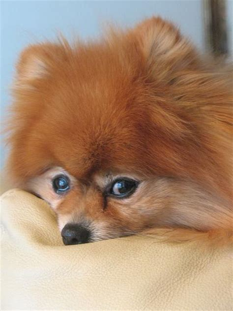 golden pomeranian puppies picture of up of golden pomeranian puppy jpg hi res 720p hd