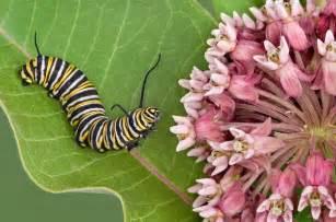 attracting butterflies 11 must have host plants birds