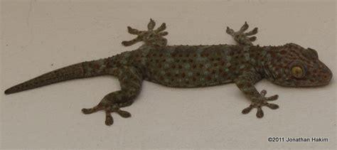 Blind Rat Tokay Gecko Reptiles And Amphibians Of Bangkok