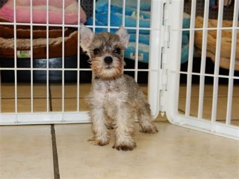 schnauzer puppies for sale in alabama schnauzer standard puppy funnydog tv