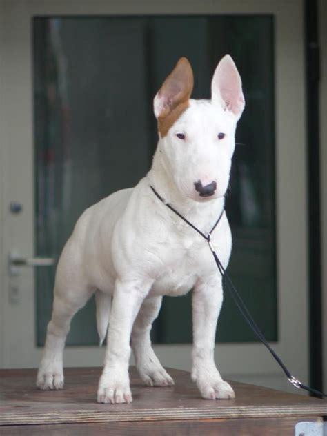 bull terrier puppies pa de 25 bedste id 233 er inden for bull terriers p 229 mini bull terriers