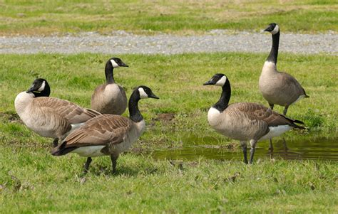 images of geese history creation and religious conflicts being